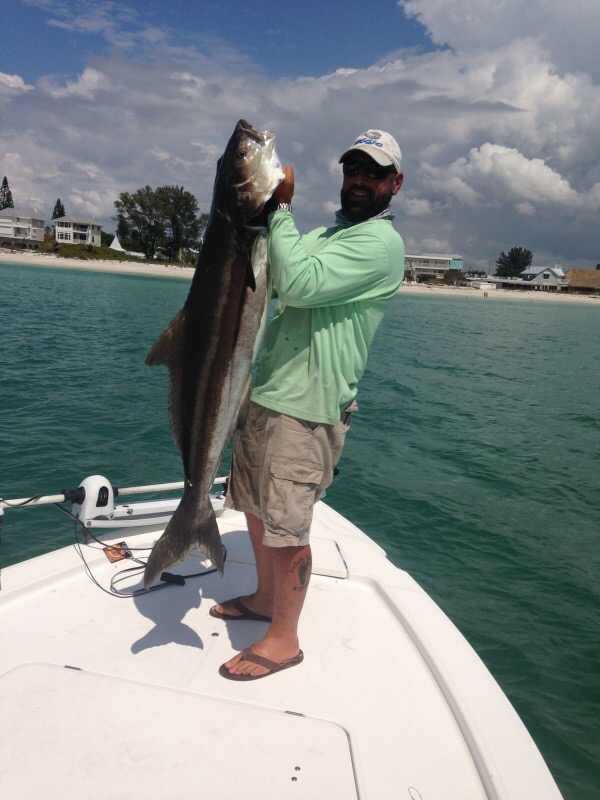 a picture of a fisherman holdinng a huge cobia caught of the coast of Anna Maria Island